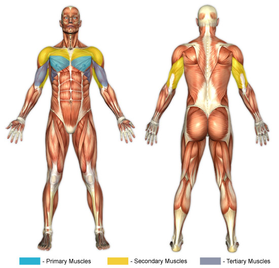 Bench Press Barbell Muscle Image