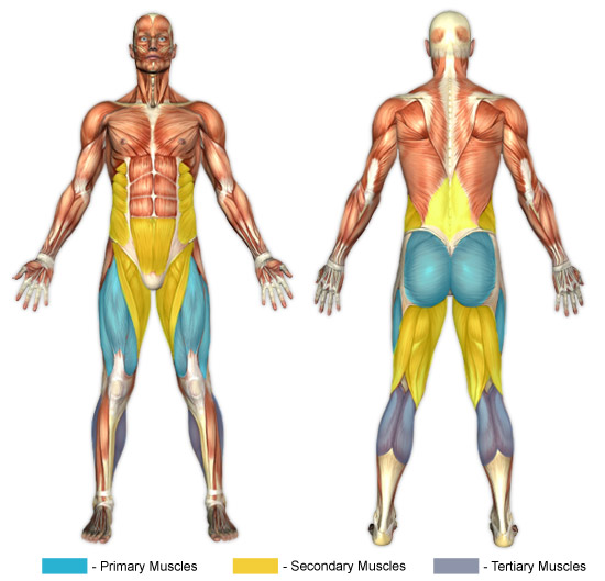 Barbell front squat muscles used