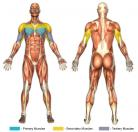 Bench Press (Barbell) Muscle Image