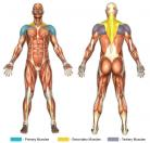 Bent-Over Lateral Raises (Dumbbell) Muscle Image