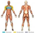 Standing Crossover Flys (Cable) Muscle Image