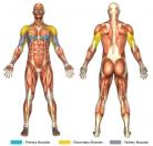 Decline Bench Press (Barbell) Muscle Image