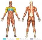 Flat Bench Crossover Flys (Cable) Muscle Image
