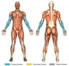 Hammer Curls (Dumbbell) Muscle Image