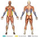 Hanging Serratus Crunch (Calisthenics) Muscle Image