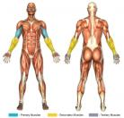 Incline Curls (Dumbbell) Muscle Image