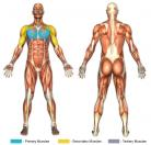 Incline Flys (Dumbbell) Muscle Image