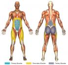 Incline Leg Raises (Calisthenics) Muscle Image