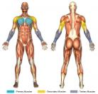 Incline Bench Press (Dumbbell) Muscle Image