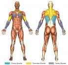 Lat Pull-Downs Muscle Image