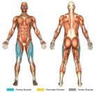 Leg Extensions (Machine) Muscle Image