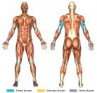 Skull Crushers / Lying Triceps Extensions (Barbell) Muscle Image
