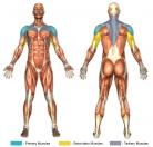 Military Press (Barbell) Muscle Image