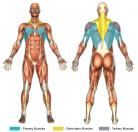 Pullovers (Dumbbell) Muscle Image