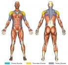 Reverse Overhead Laterals (Dumbbell) Muscle Image