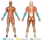 Reverse Wrist Curls (Barbell) Muscle Image