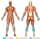 Seated Calf Raises (Machine) Muscle Image
