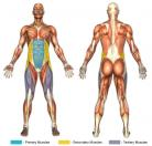 Seated Leg Tucks (Bench) Muscle Image