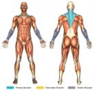 Shrugs (Barbell) Muscle Image