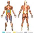 Sit-Ups (Decline) Muscle Image