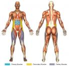Sit-Ups (Standard) Muscle Image