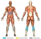 Standing Calf Raises (Barbell) Muscle Image