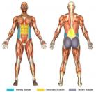 Standing Twists / Trunk Rotations (Barbell) Muscle Image