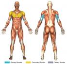 Triceps Dips / Bench Dips (Calisthenics) Muscle Image