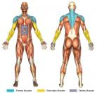 Upright Rows (Barbell) Muscle Image