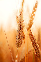 What is Gluten Image