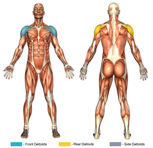 Shoulder Muscle Groups